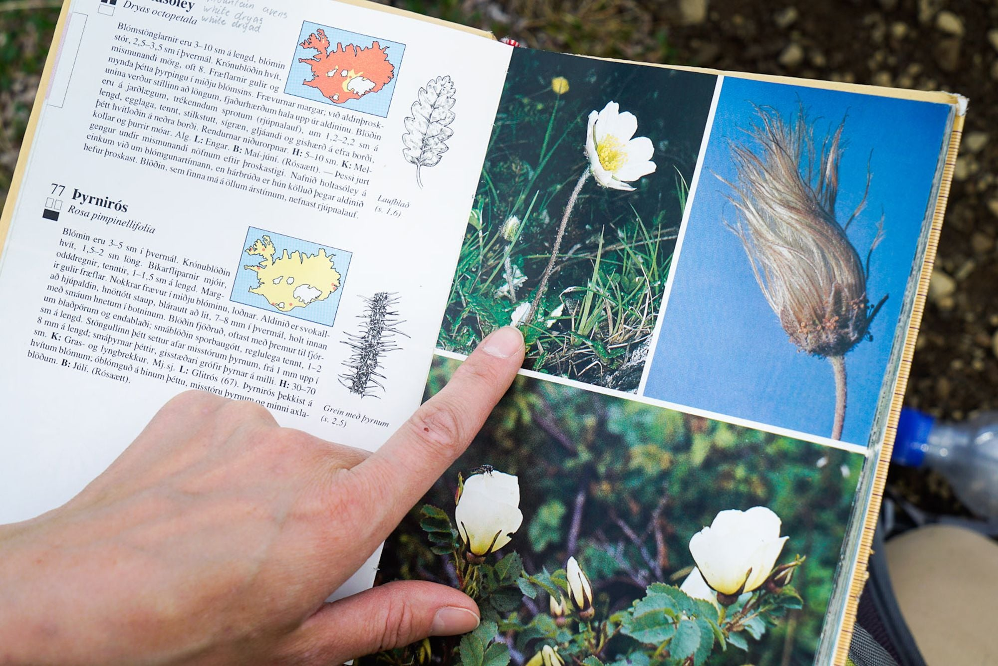 Dryas octopetala - the national flower