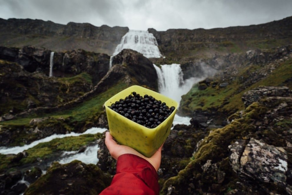 Picking Arctic blueberries under Dynjandi waterfall
