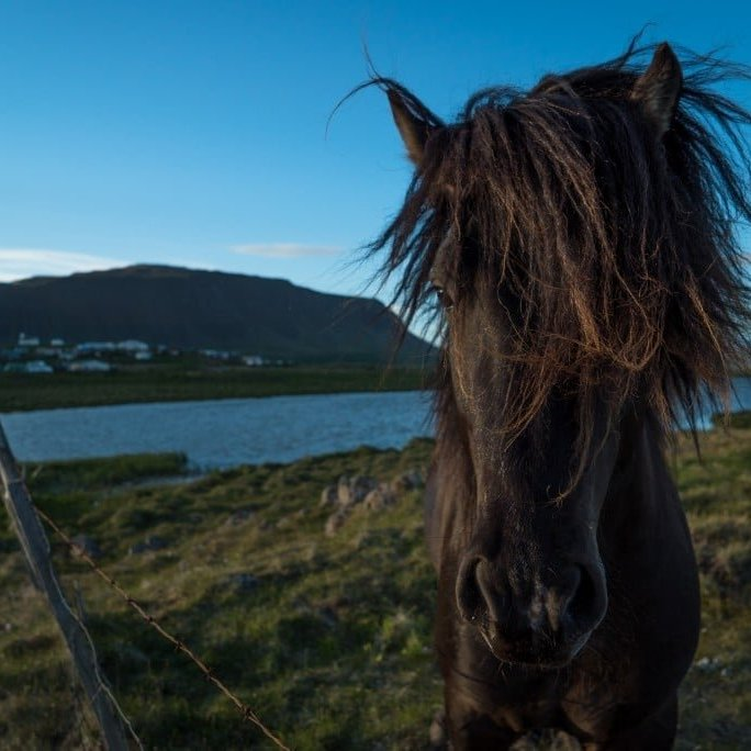 The Icelandic horse in front of Reykhólar