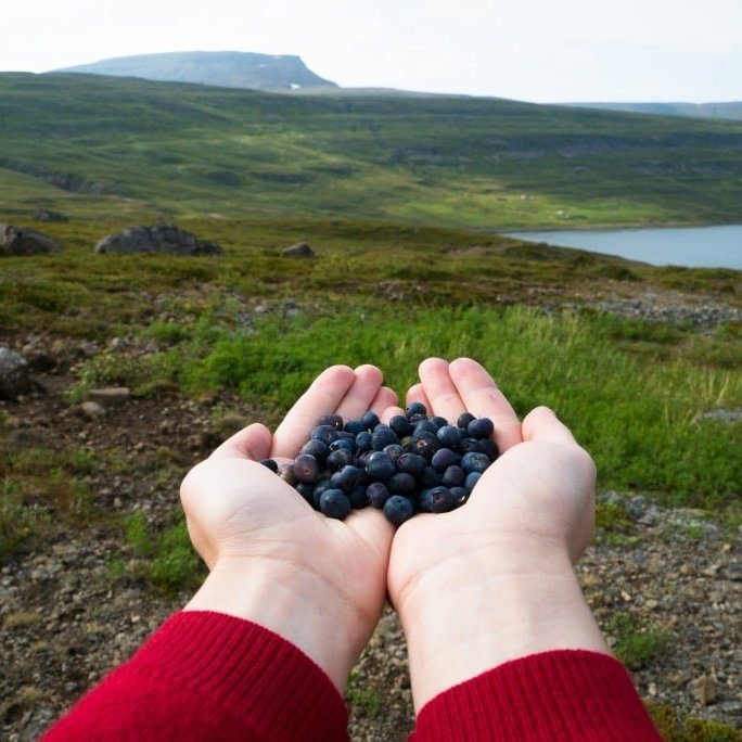Picking arctic blueberries in Ísafjarðardjúp